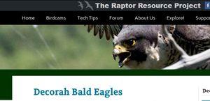 Decorah Bald Eagles   Raptor Resource Project