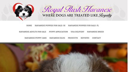 Royal Flush Havanese